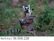 Ringed-tailed lemur (Lemur catta) female with baby amongst Tomato crop, Anja Community Reserve. Madagascar. Стоковое фото, фотограф Cyril Ruoso / Nature Picture Library / Фотобанк Лори