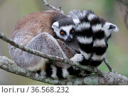 Ringed-tailed lemur (Lemur catta), two sitting and snuggling on branch. Granite mountain, Anja Community Reserve, Madagascar. Стоковое фото, фотограф Cyril Ruoso / Nature Picture Library / Фотобанк Лори