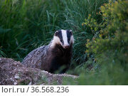 Badger (Meles meles) emerging from sett at dusk. Yonne, Bourgogne-Franche-Comte, France. April. Стоковое фото, фотограф Cyril Ruoso / Nature Picture Library / Фотобанк Лори