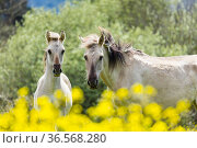Sorraia horses, mare and foal standing amongst flowers. Middle Coa, Coa Valley, Western Iberia, Portugal. April. Стоковое фото, фотограф Juan  Carlos Munoz / Nature Picture Library / Фотобанк Лори