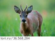 Roe deer (Capreolus capreolus) buck eating a flower, portrait. Yonne, Bourgogne-Franche-Comte, France. June. Стоковое фото, фотограф Cyril Ruoso / Nature Picture Library / Фотобанк Лори
