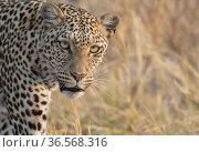 Leopard (Panthera pardus) female, portrait. Savuti, Chobe National Park, Botswana. Стоковое фото, фотограф Yashpal Rathore / Nature Picture Library / Фотобанк Лори