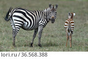 Plains Zebra (Equus quagga) female with foal, Masai Mara, Kenya, March. Стоковое фото, фотограф Loic Poidevin / Nature Picture Library / Фотобанк Лори