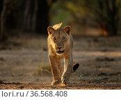 Lion (Panthera leo) young male walking. Mana Pools National Park, Zimbabwe. Стоковое фото, фотограф Tony Heald / Nature Picture Library / Фотобанк Лори