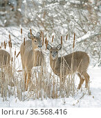 White-tailed deer (Odocoileus virginianus) doe and fawn standing amongst Bulrushes on snow covered pond. Acadia National Park, Maine, USA. January. Стоковое фото, фотограф George  Sanker / Nature Picture Library / Фотобанк Лори