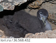 Scopoli's shearwater (Calonectris diomedea) chick on nest within rocks. Nature Reserve, Savage Islands, Madeira. Стоковое фото, фотограф Sergio Hanquet / Nature Picture Library / Фотобанк Лори
