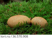 Dickschaliger Kartoffelbovist, Scleroderma citrinum, Moos. Стоковое фото, фотограф Zoonar.com/Gerd Herrmann / age Fotostock / Фотобанк Лори