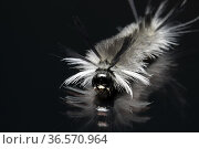 Banded Tussock Moth Caterpillar or Pale Tiger Moth Caterpillar (Halysidota... Стоковое фото, фотограф Bill Gozansky / age Fotostock / Фотобанк Лори