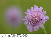 Bluete der Wiesen-Witwenblume_Knautia arvensis. Стоковое фото, фотограф Zoonar.com/Gerd Herrmann / age Fotostock / Фотобанк Лори