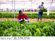Workers clean ripe chard and put in boxes. Стоковое фото, фотограф Яков Филимонов / Фотобанк Лори