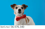 Dog Portrait breed of Jack Russell Terrier Pet with bow tie. Стоковое видео, видеограф Ekaterina Demidova / Фотобанк Лори