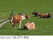 Im Herbst wird das Weidevieh festlich geschmückt von den Almen ins... Стоковое фото, фотограф Zoonar.com/Eder Christa / easy Fotostock / Фотобанк Лори