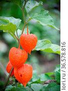 Die getrockneten Fruchtstände werden gern in Gestecken oder ähnlichem... Стоковое фото, фотограф Zoonar.com/Martina Berg / easy Fotostock / Фотобанк Лори