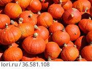 Hokaido Pumpkin   Hokaido Kuerbis. Стоковое фото, фотограф Zoonar.com/Günter Lenz / age Fotostock / Фотобанк Лори