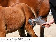 Deutsches Warmblut, Fohlen, Fohlenbrand, German warmblood, foal, brand. Стоковое фото, фотограф Zoonar.com/Astrid Brillen / age Fotostock / Фотобанк Лори