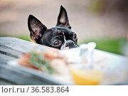 Boston Terrier sieht Herrchen im Restaurant beim Essen zu. Стоковое фото, фотограф Zoonar.com/Nailia Schwarz / age Fotostock / Фотобанк Лори