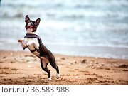 Mann mit Boston Terrier. Стоковое фото, фотограф Zoonar.com/Nailia Schwarz / age Fotostock / Фотобанк Лори