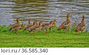 Egyptian geese with chicks and river. Стоковое фото, фотограф Zoonar.com/Sprunger Marie / easy Fotostock / Фотобанк Лори