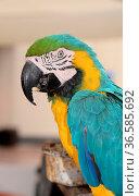 Gelbbrustara, ara, papagei, vogel, Ara ararauna, ararauna, tier, gelb... Стоковое фото, фотограф Zoonar.com/Volker Rauch / easy Fotostock / Фотобанк Лори