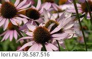 Поле эхинацеи пурпурной (Echinacea purpurea). Field of echinacea (Echinacea purpurea). Стоковое видео, видеограф Евгений Романов / Фотобанк Лори