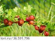 Rote Stachelbeeren mit Wassertropfen am Strauch im Garten. Стоковое фото, фотограф Zoonar.com/Thomas Klee / easy Fotostock / Фотобанк Лори