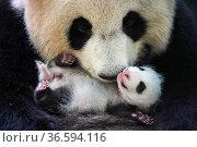 Giant panda (Ailuropoda melanoleuca) female, Huan Huan, holding cub... Стоковое фото, фотограф Eric Baccega / Nature Picture Library / Фотобанк Лори