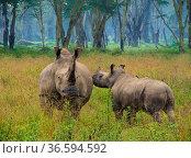 White rhino (Ceratotherium simum) female and calf, Nakuru National Park, Kenya. Стоковое фото, фотограф Inaki Relanzon / Nature Picture Library / Фотобанк Лори