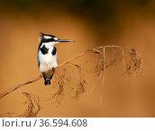 Pied kingfisher (Ceryle rudis), Lake Bunyony, Uganda, Africa. Стоковое фото, фотограф Inaki Relanzon / Nature Picture Library / Фотобанк Лори