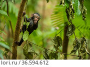 Black crested monkey or macaque (Macaca nigra) infant in tree, Sulawesi, Indonesia. Critically endangered. Стоковое фото, фотограф Inaki Relanzon / Nature Picture Library / Фотобанк Лори