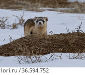 Black-footed ferret (Mustela nigripes) in snow atop prairie dog burrow, surveying surroundings. IUCN endangered species. Rocky Mountain Arsenal Wildlife Refuge, Colorado, USA. Стоковое фото, фотограф Charlie Summers / Nature Picture Library / Фотобанк Лори