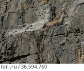 Ibex (Capra ibex) resting on cliff, Queyras, Hautes Alpes, France, August. Стоковое фото, фотограф Pascal  Tordeux / Nature Picture Library / Фотобанк Лори