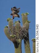 Harris hawk (Parabuteo unicinctus) juvenile in nest in Saguaro cactus (Carnegiea gigantea) practicing flying, Sonoran Desert, Arizona, USA. Стоковое фото, фотограф John Cancalosi / Nature Picture Library / Фотобанк Лори