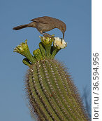 Curve-billed thrasher (Toxostoma curvirostre) feeding on Saguaro cactus(Carnegiea gigantea) blossom nectar and the insects trapped in it, Sonoran Desert, Arizona, USA. Стоковое фото, фотограф John Cancalosi / Nature Picture Library / Фотобанк Лори