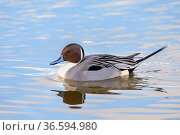 Northern pintail (Anas acuta) male swimming. Gloucestershire, England... Стоковое фото, фотограф Oscar Dewhurst / Nature Picture Library / Фотобанк Лори