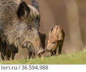 Wild boar (Sus scrofa) sow with piglets. Forest of Dean, Gloucestershire... Стоковое фото, фотограф Oscar Dewhurst / Nature Picture Library / Фотобанк Лори