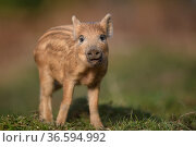 Wild boar (Sus scrofa) piglet. Forest of Dean, Gloucestershire, England... Стоковое фото, фотограф Oscar Dewhurst / Nature Picture Library / Фотобанк Лори