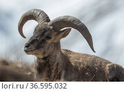 Bharal / Blue sheep (Pseudois nayaur), male resting, higher Himalaya mountains, Kibber Wildlife Sanctuary, India. March. Стоковое фото, фотограф Yashpal Rathore / Nature Picture Library / Фотобанк Лори