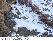 Snow leopard (Panthera uncia) male walking down snow-covered mountainside, Kibber Wildlife Sanctuary, India. March. Стоковое фото, фотограф Yashpal Rathore / Nature Picture Library / Фотобанк Лори