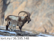 Himalayan ibex (Capra sibirica hemalayanus) male with young. They live at elevations of 3800m and higher, western Himalaya mountains, Kibber Wildlife Sanctuary, India. April. Стоковое фото, фотограф Yashpal Rathore / Nature Picture Library / Фотобанк Лори