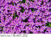 Blaukissen Sar-Planina - Aubrieta gracilis 01. Стоковое фото, фотограф Zoonar.com/LIANEM / easy Fotostock / Фотобанк Лори