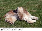 Afghane, Afghanischer, Windhund, Hund, Стоковое фото, фотограф Zoonar.com/Manfred Ruckszio / age Fotostock / Фотобанк Лори