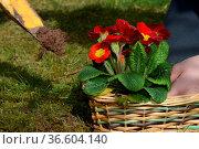 Gartenarbeit, blume, einpflanzen, pflanzen, pflanze, garten, hände... Стоковое фото, фотограф Zoonar.com/Volker Rauch / easy Fotostock / Фотобанк Лори