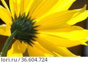 Topinamburg, süßkartofffel, blume, gelb, blüte, pflanze, zierpflanze... Стоковое фото, фотограф Zoonar.com/Volker Rauch / easy Fotostock / Фотобанк Лори