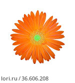Gerbera, Afrika, Madagaskar, Sommerblume, Стоковое фото, фотограф Zoonar.com/Manfred Ruckszio / age Fotostock / Фотобанк Лори