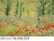 Poppies (Papaver rhoeas)., And thistles. Petrola Lagoon Nature Reserve... Стоковое фото, фотограф Antonio Real / age Fotostock / Фотобанк Лори