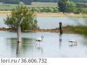 Flamingos (Phoenicopterus). Petrola Lagoon Nature Reserve. Albacete... Стоковое фото, фотограф Antonio Real / age Fotostock / Фотобанк Лори