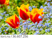 Tulpe und Vergissmeinicht - tulip and forget-me-not 11. Стоковое фото, фотограф Zoonar.com/LIANEM / easy Fotostock / Фотобанк Лори
