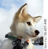 Alaskan, Malamut, Стоковое фото, фотограф Zoonar.com/Manfred Ruckszio / age Fotostock / Фотобанк Лори