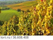 BW. bei Kürnbach bunte Weinberge im Herbst, Rotweintrauben am Weinstock... Стоковое фото, фотограф Zoonar.com/Bildagentur Geduldig / easy Fotostock / Фотобанк Лори