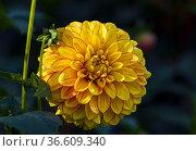 Яркая желто-красная георгина на темном фоне. Солнечный день в сентябре. Стоковое фото, фотограф Сергей Рыбин / Фотобанк Лори